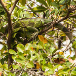 ein weiblicher Laguan