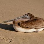 Dieser Pelikan lebt von den Fischabfällen und war extrem zutraulich - oder faul.