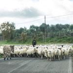 Die Esel haben nicht eine Sekunde ihr Tempo reduziert - als wenn die Schafherde nicht existieren würde