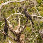 Kormorane - die gibt es scheinbar überall auf der Welt