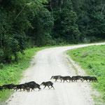 """eine Wildschweinrotte - in Belize heißen sie """"pecaries"""""""