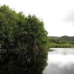 Mangrove à Vieux-Fort