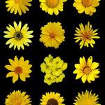 von Alvesgaspar (Eigenes Werk) [CC BY-SA 3.0], via Wikimedia Commons | http://commons.wikimedia.org/wiki/File%3AYellow_flowers_a.jpg