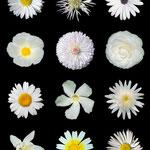 von Alvesgaspar (Eigenes Werk and Kaldari) [CC BY-SA 3.0], via Wikimedia Commons | http://commons.wikimedia.org/wiki/File%3AWhite_flowers_b.jpg