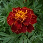 von George Chernilevsky (Eigenes Werk) [Public domain], via Wikimedia Commons | http://commons.wikimedia.org/wiki/File%3AFrench_marigold_garden_2009_G1.jpg