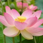von Peripitus (Eigenes Werk) [CC BY-SA 4.0-3.0-2.5-2.0-1.0], via Wikimedia Commons | http://commons.wikimedia.org/wiki/File%3ANelumno_nucifera_open_flower_-_botanic_garden_adelaide2.jpg