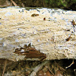 Ceraceomyces sublaevis (=eludes) (Bild 2/2) an Kiefer