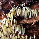 Mucronella calva -  Rasiges Pfriempilzchen.Findet man im Spätherbst auf Kiefernholz,selten.