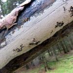 Hypochnicium geogenium - Strohweißer Rindenpilz.Im Winter auf Laub-und Nadelholz,häufig.