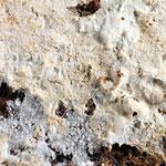 Ceraceomyces sublaevis (=eludes) (Bild 1/2) an Fichte - Kleinsporiger Wachsrindenpilz.An morschem Holz von Nadelbäumen,nicht häufig