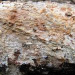 Phanerochaete velutina (Bild 3/3) - auf morscher Eiche
