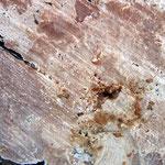 Cylindrobasidium evolvens (Bild 2/2) an der Schnittfläche einer Birke