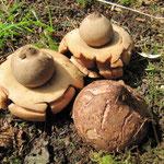 Geastrum triplex - Halskrausen-Erdstern.Seltene Art,meist in Laubwäldern,auf Laubhalden und in Parks.