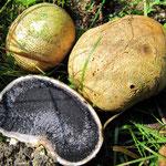 Scleroderma citrinum - Dickschaliger Kartoffelbovist.Häufige Art,wird gern als Trüffel angesehen,ist jedoch giftig!