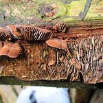 Gloeophyllum abietinum - Tannenblättling.Ebenfalls auf Fichtenholz gefunden (ein abgebauter Jagdstand),selten.