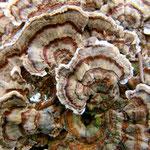 Trametes versicolor (Bild 1/2) - Schmetterlingstramete.Sehr häufige und auch dekorative Art an Laub-und Nadelholz,gern rosettenförmig wachsend.