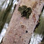 Vuilleminia comedeus - Eichen-Rindensprenger.Sehr häufig an dünnen Eichenstämmen und an absterbenden Zweigen,ganzjährig.