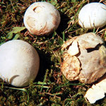 Bovista plumbeja - Bleigrauer Zwergbovist.Auf Wiesen,gern an Wegrändern,auch auf Erde ohne Gras,relativ häufig.