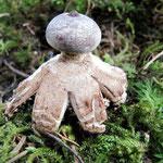 Geastrum pectinatum - Kamm-Erdstern.Seltener,gefunden im Fichtenwald.