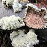 Schizophyllum commune - Spaltblättling.Ganzjährig an Laub-und Nadelholz,gern an Rotbuche,häufig.