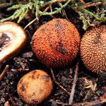 Elaphomyces muricatus - Stachelige Hirschtrüffel.Unterirdisch in Laub-und Nadelwald wachsend,gern von Rot-und Schwarzwild aufgewühlt und gefressen,für Menschen ungenießbar.