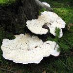 Oligoporus guttulatus - Kein deutscher Name bekannt.Man findet diesen Pilz häufig an Fichtenstubben.