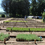 Beds of the tree nursery of the Haramaya University