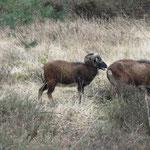 Soay-Schafe zur Landschaftspflege