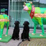 Ja, Kühe sind in der Schweiz keine Seltenheit - aber solche schon :-)