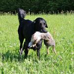 Meo apportiert sein erstes Kaninchen