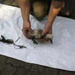 Jungstorch mit Rundballen bindegarn am Nestboden fest bein fast abgeschnürtt