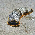 arminidae