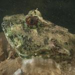 Groene zeedonderpad