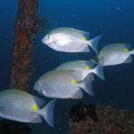 Konijnvissen