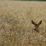 im Weizen