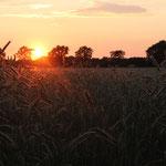 Im Getreide