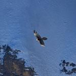 Bartgeier Altvogel, gleitet einem Hang entlang, Gemmipass 2. März 2012