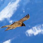 Bartgeier Jungvogel ca. 2 Jahre alt, Gemmipass 2. März 2012