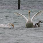 Singschwäne Altvögel mit den Jungen der letzten Brut, Ermatingerbecken, 1. 1. 2013