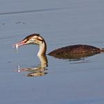 Haubentaucher, flügger Jungvogel mit kleinem Fisch, Klingnauerstausee 18.9.2012
