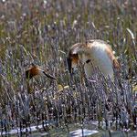 Haubentaucherpaar am Nest, Silsersee 1800 m ü. M Höchster Brutort in Mitteleuropa, 8. Juni 2013