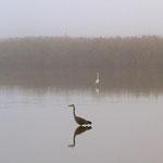 Graureiher und Silberreiher im herbstlichen Nebel, Neeracherried 1. 10. 2011