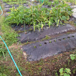 2014年 今年は雑草対策で黒マルチをしいています。それでも草は強し!