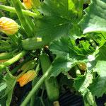 2014年 ズッキーニの花が大量に咲き、モンシロチョウが大活躍。実も大きくなってます(6月)