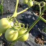 2014年 今年のトマトは失敗(T_T) 収穫は、わずかでした(^_^;) 来年こそは!(8月)