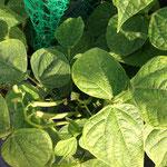 2014年 筋なしインゲン豆の実が結んだ(●^o^●) (5月)