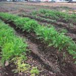 2012年 豊作の水菜(秋〜冬)