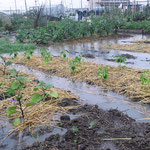 2012年 梅雨時期の豪雨。茄子とバジルは頑張ってます!