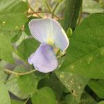2014年 初挑戦の四角豆!可憐な花が咲きました(8月中旬)