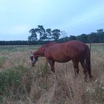 Spätsommer 2020 - das Weidegras ist schon sehr trocken und holzig. Den Pferden schmeckt es trotzdem!